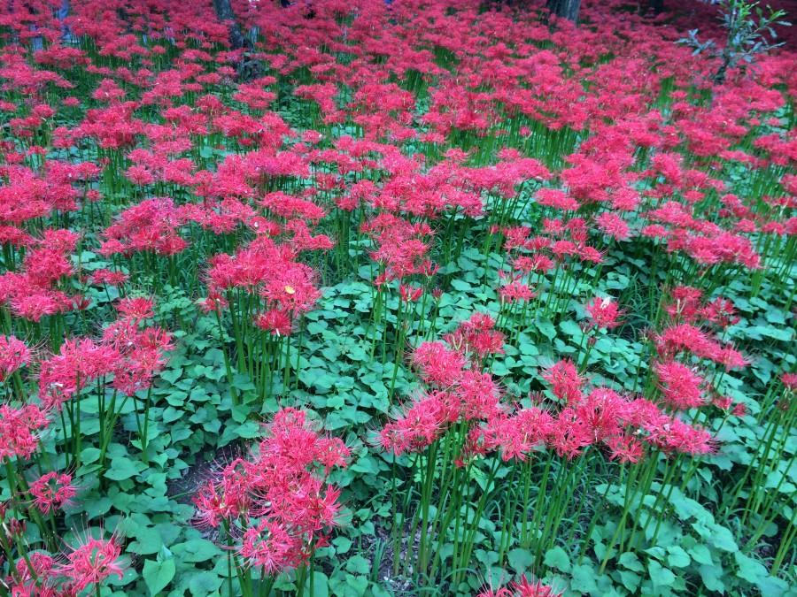 IMG 5027 900x675 彼岸花(曼珠沙華)が最盛期を迎える。埼玉県日高市巾着田。