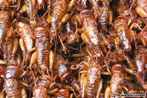 IN1 cricket ゲテモノ食いには危険がいっぱい!出来る事なら火を通そう。