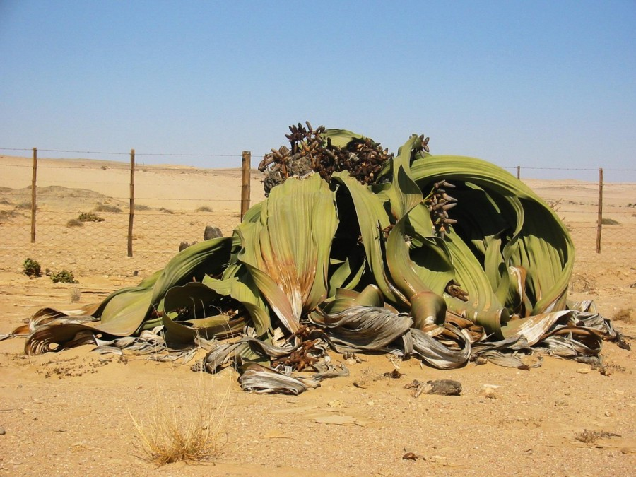 Welwitschia mirabilis2 900x675 ウェルウィッチア。砂漠で1000年生きる植物。