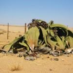 ウェルウィッチア。砂漠で1000年生きる植物。
