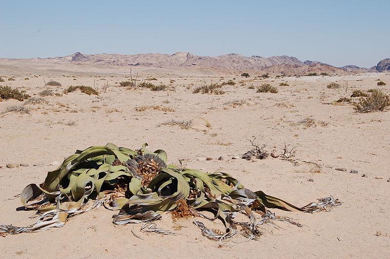 f87665510f334883d7f460bcba6a1bfd ウェルウィッチア。砂漠で1000年生きる植物。