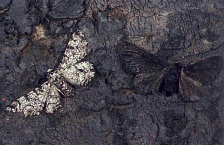 moths2 01 ロンドンの白い蛾。進化論を肯定する唯一の証拠。