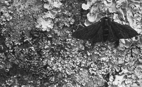 pep1 ロンドンの白い蛾。進化論を肯定する唯一の証拠。