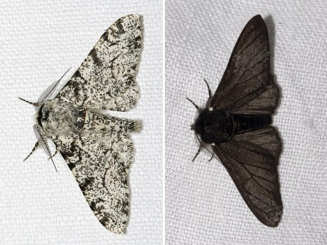 peppered moth both forms e1410338181269 ロンドンの白い蛾。進化論を肯定する唯一の証拠。