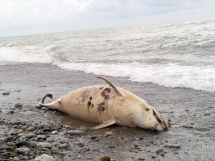 delf 海で大量の死骸が打ち揚げられる現象。原因は人間か。
