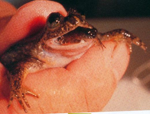 gastric2 カモノハシガエル。絶滅から蘇る可能性も。