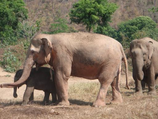 white elephant アルビノと白変種の違い。