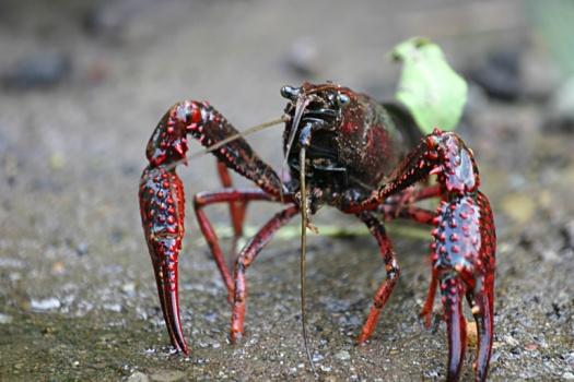 Procambarus clarkii 環境省が侵略的外来種のリストを作成。