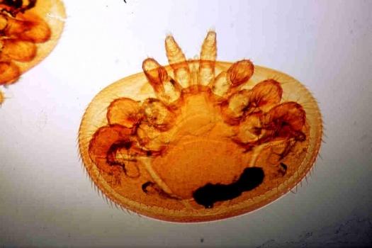 Varroa jacobsoni D4631 環境省が侵略的外来種のリストを作成。