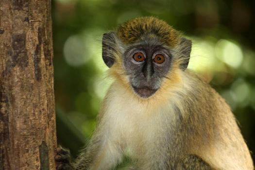 green monkey2 マールブルク病。突然現れる謎の熱病!