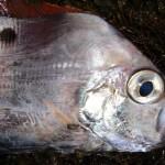 富山湾でユキフリソデウオの幼魚が大量に捕獲される!