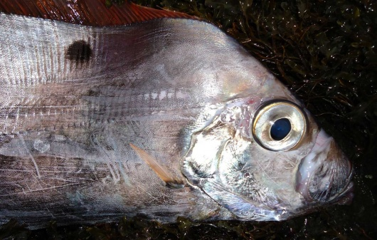 Dealfishhead SM 富山湾でユキフリソデウオの幼魚が大量に捕獲される!
